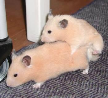 Porn On Hamster 100